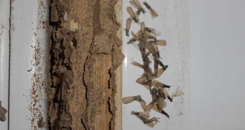 tratamiento de termitas y eliminación
